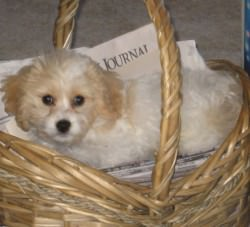 Cavachon in Basket