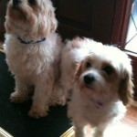 Ollie and Honey the Cavachons