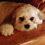 Patches the Cavachon