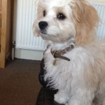 Tilly the Cavachon
