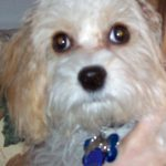 Widget the Cavachon