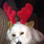Cavachon wearing reindeer antlers for Christmas