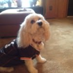 Cavachon dog in NFL Browns football jersey