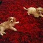 Chelsea and Simba Cavachons