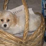 Cavachon puppy asleep in basket