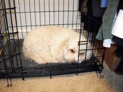 Cavachon in Crate