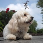 Cavachon Laying Outside