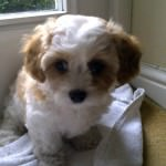 Puppy Cavachon